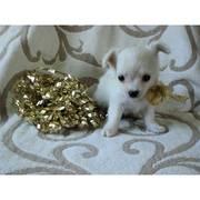бесплатно Очаровательны щенки чихуахуа доступны. Гарантия здоровья