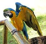 Африканский серый попугай на продажу
